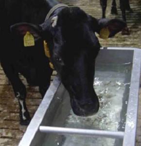 Koe met drinkbak